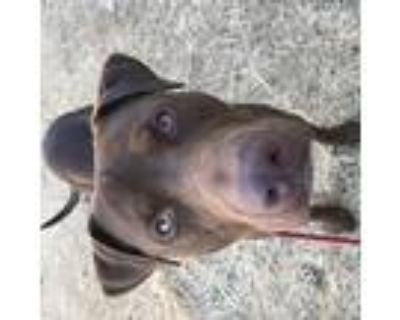 Tobias, Labrador Retriever For Adoption In Oakland, California