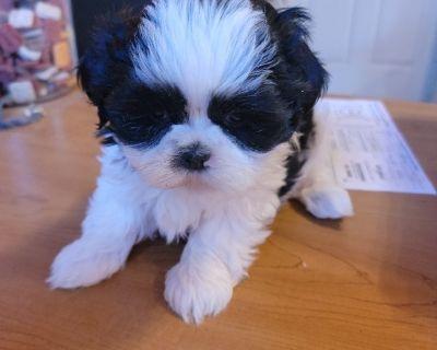 Shih Tzu puppies and Maltese puppies