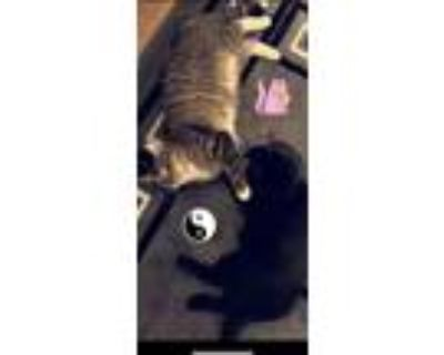 Adopt Louie and Bagheera a Gray or Blue Calico / Mixed (short coat) cat in Inver
