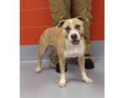 Adopt PRETTY KITTY a Tan/Yellow/Fawn - with White American Pit Bull Terrier /