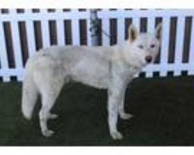 Adopt *FROSTY a White Husky / Mixed dog in Modesto, CA (32052120)