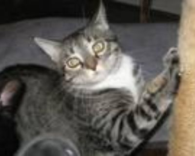 Adopt Binx a Brown Tabby Domestic Shorthair / Mixed (short coat) cat in Mobile