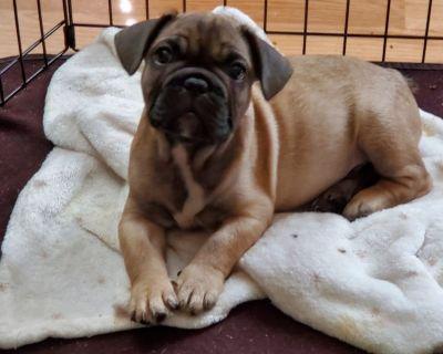 9 week French Bulldog