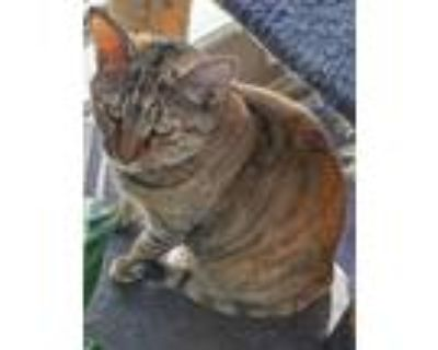 Adopt Maple a American Shorthair / Mixed cat in Claremore, OK (28998853)