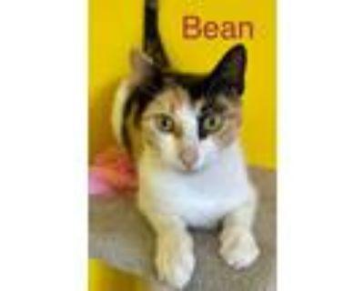 Adopt Bean a Domestic Short Hair