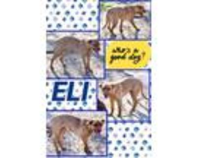 Adopt Eli a Tan/Yellow/Fawn Pit Bull Terrier / Shar Pei / Mixed dog in El
