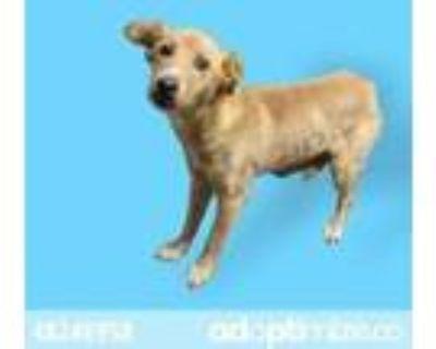 Adopt 48240958 a Tan/Yellow/Fawn Labrador Retriever / Mixed dog in El Paso