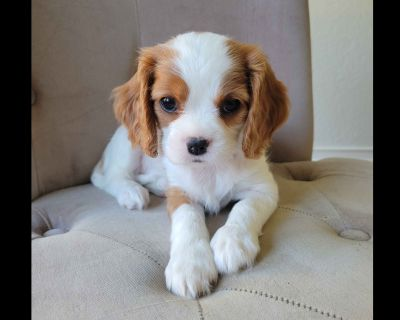 Cavalier King Charles Spaniel puppies!  Ready for fall!