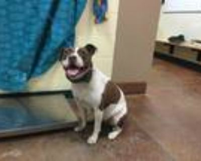 Adopt Dog a White - with Brown or Chocolate American Pit Bull Terrier / Mixed