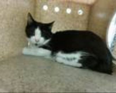 Adopt MISSISSIPPI a Domestic Short Hair