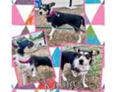 Adopt Ralna a White - with Tan, Yellow or Fawn Jack Russell Terrier / Mixed dog