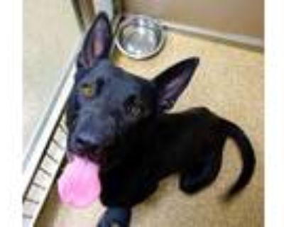 Adopt PEPE a Black - with White German Shepherd Dog / Mixed dog in Albuquerque