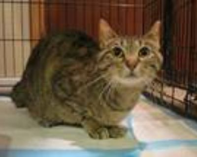 Adopt Stinky a Brown Tabby Domestic Shorthair (short coat) cat in Grayslake