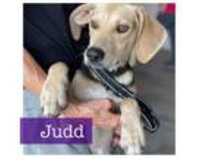 Adopt Judd a Labrador Retriever, Beagle
