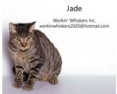 Adopt JADE a Brown Tabby Egyptian Mau (short coat) cat in HEMET, CA (32138788)