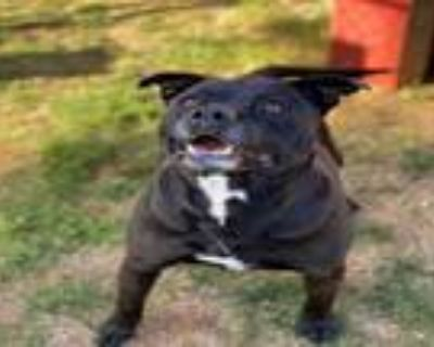 Adopt BUDDIE a Pit Bull Terrier, Mixed Breed