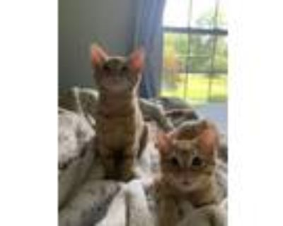 Adopt Freckles and Jodi a Tabby, Domestic Short Hair