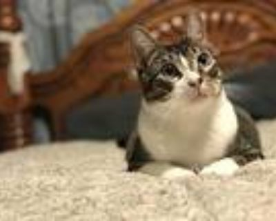 Knick-knack, Domestic Shorthair For Adoption In Abbeville, Louisiana