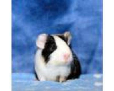 Adopt Nala a Guinea Pig