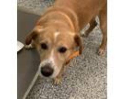 Adopt Tip a Labrador Retriever / Mixed dog in Golden, CO (31482520)