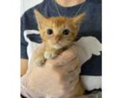 Adopt Mango a Orange or Red Domestic Shorthair / Domestic Shorthair / Mixed cat