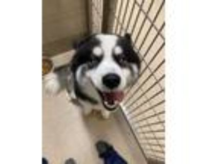 Adopt Bear a Black Husky / Samoyed / Mixed dog in Newport News, VA (32054768)