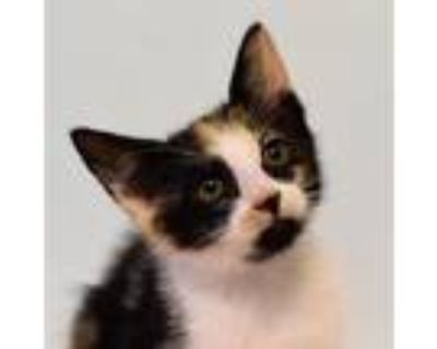 Adopt Anastasia a Extra-Toes Cat / Hemingway Polydactyl, Domestic Long Hair