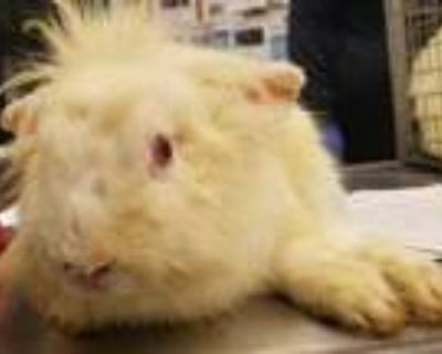 Adopt Bugzy ADOPTED a White Other/Unknown / Other/Unknown / Mixed rabbit in