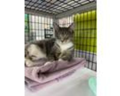 Adopt Carol a Brown Tabby Domestic Shorthair (short coat) cat in Fort