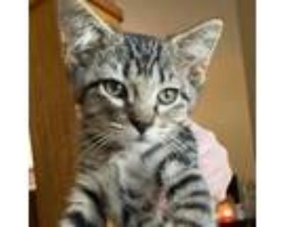 Adopt Bread Crumbs a Brown or Chocolate Domestic Shorthair / Mixed cat in