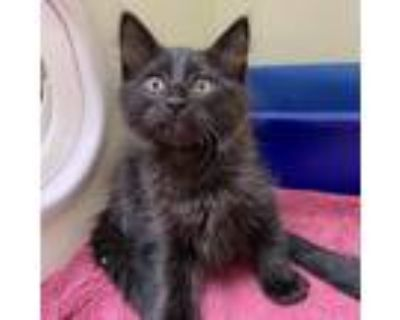 Adopt Jerry a All Black Domestic Shorthair (short coat) cat in Wheaton