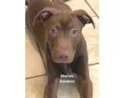 Adopt Marvin Gardens a Brown/Chocolate Labrador Retriever / Mixed dog in