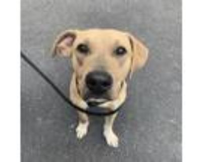 Adopt Cody a Tan/Yellow/Fawn Pit Bull Terrier / Shepherd (Unknown Type) / Mixed