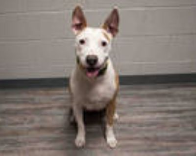Adopt YANG a White - with Brown or Chocolate Labrador Retriever / Mixed dog in