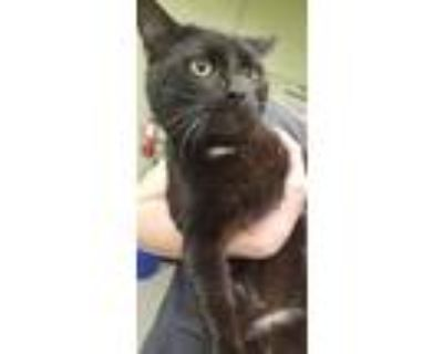 Adopt CPT REYNOLDS a All Black Domestic Shorthair / Mixed (short coat) cat in
