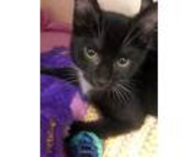Adopt Percy a All Black Domestic Mediumhair / Domestic Shorthair / Mixed cat in