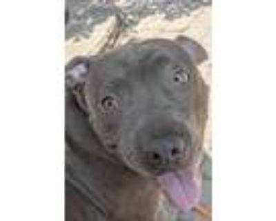 Adopt Benson a Gray/Blue/Silver/Salt & Pepper American Pit Bull Terrier / Mixed