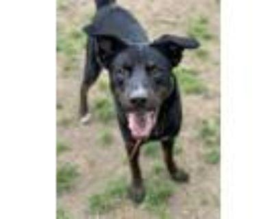 Adopt EDDIE a Labrador Retriever / Mixed dog in Little Rock, AR (28077882)