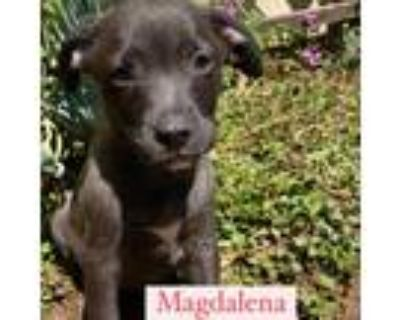 Adopt Magdalena a Gray/Silver/Salt & Pepper - with Black Border Collie /