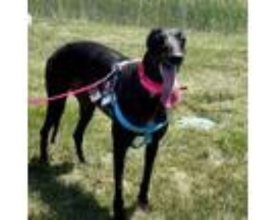 Adopt Gaby a Black Greyhound / Mixed dog in Independence, MO (32053085)
