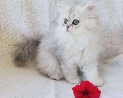 CFA Shaded Silver Persian Kittens