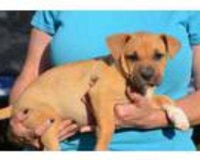 Adopt Raya a Tan/Yellow/Fawn Boxer / Mixed dog in Chester Springs, PA (31675142)