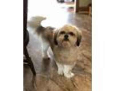 Adopt Scout and Sadie a White - with Gray or Silver Havanese / Japanese Chin /