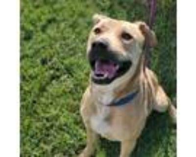 Adopt Draco a Tan/Yellow/Fawn Pit Bull Terrier / Mixed dog in Wichita