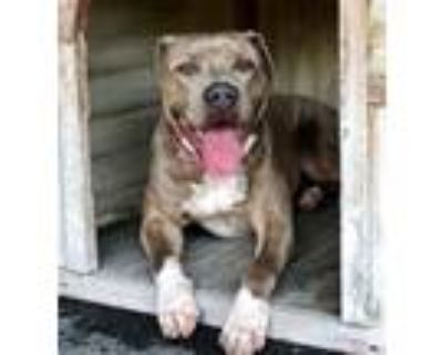 Adopt Adorable Rosie a Gray/Silver/Salt & Pepper - with White Mastiff / American