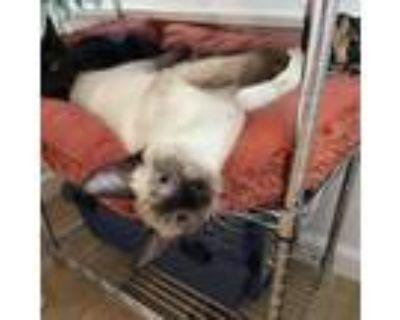 Adopt Precious a Gray or Blue Siamese / Mixed cat in Pleasanton, CA (32043173)