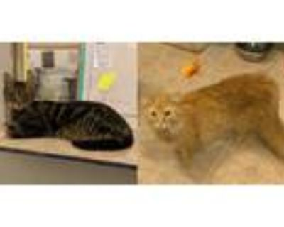 Adopt Charles a Maine Coon / Mixed (long coat) cat in St.