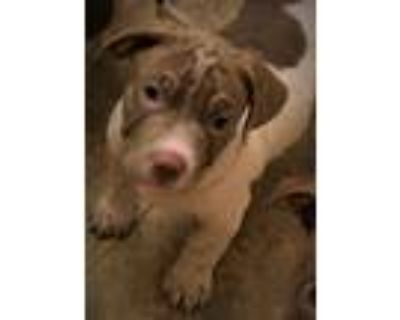 Adopt MR.BROWNIE a Brown/Chocolate - with White Shar Pei / Jack Russell Terrier