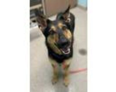 Adopt Lexy a Tan/Yellow/Fawn German Shepherd Dog / Mixed dog in Noblesville