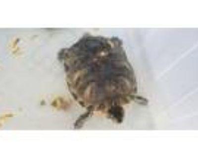 Adopt A094433 a Turtle